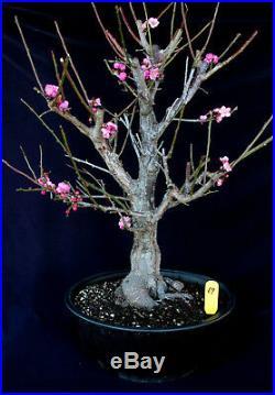 Japanese flowering apricot'Mume' specimen bonsai #69