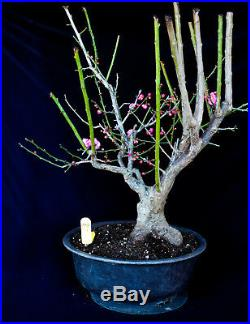 Indoor Bonsai Japanese Flowering Apricot Mume Specimen Bonsai 79 Http Indoorbonsai Biz