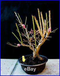 Japanese flowering apricot'Mume' specimen bonsai #79