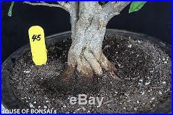 Japanese flowering fruiting Twisted Pomergranate specimen bonsai Tree #45