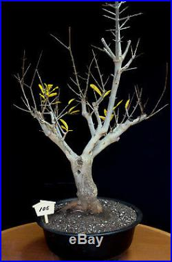 Japanese fruiting, flowering twisted pomegranate specimen # 106
