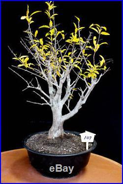 Japanese fruiting, flowering twisted pomegranate specimen # 107