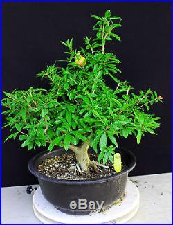 Japanese fruiting, flowering twisted pomegranate specimen # 40