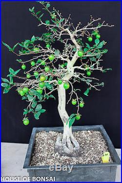 Japanese princess persimmon specimen bonsai tree #35