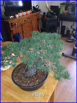 Japanese white pine 5 needle pine bonsai show stopper very massive NO RESVERE
