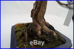 Japanische Azalee, ca. 30 Jahre (48cm)