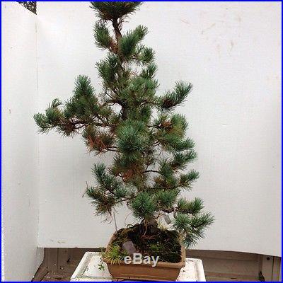 Japanise White Pine Bonsai Pinus parviflora 'Fu Ku Zu Mi' In Ceramic Bonsai Pot