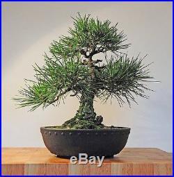 Jonsteen Growing Kit Black Bansai Trees