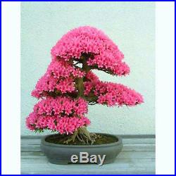 Judas tree Cercis siliquastrum 30 bonsai seeds RARE tree