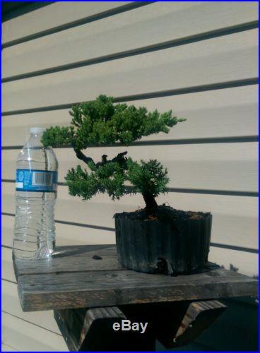 Juniper Bonsai Tree, Beautiful! No Reserve