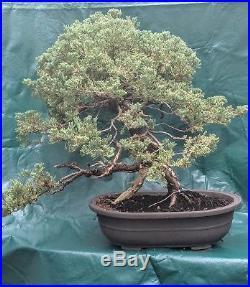 Juniper Bonsai Tree Features Fantastic Jin and Trunk Movement