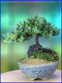 Juniper Bonsai Tree in Japanese Handmade Setku Bowl