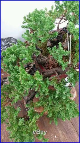 Juniper Nana Bonsai Tree #40