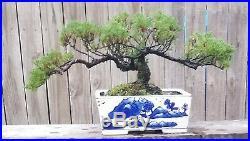 Juniper Pro Nana Bonsai Tree. 12 inch Rectangle Porcelain Blue and white Dec