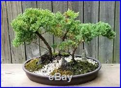 Juniper Procumbens Nana Bonsai forest in a 12 inch brown oval plastic pot