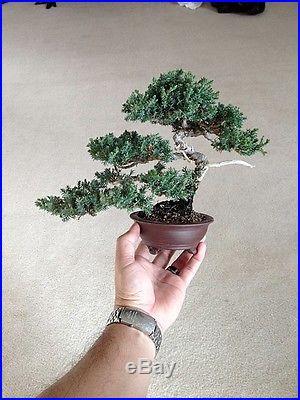 Juniper Tree Bonsai