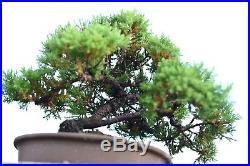 Juniper procumbens nana, Green Mound Juniper Morning, Shohin