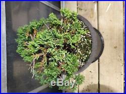 Juniper procumbens nana, Green Mound Juniper, Shohin