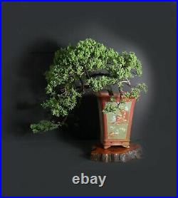 Juniper procumbens nana bonsai tree, 2020 conifer collection fro Samurai-Gardens
