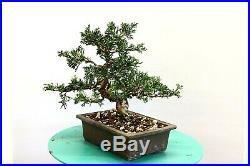 Juniper shohin bonsai tree