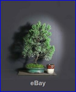 Juniper torulosa bonsai tree, Conifer bonsai collection from Samurai-Gardens