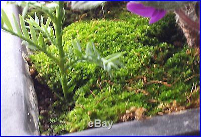 KYOTO MOSS' Spores For Bonsai Pots, Japanese Gardens