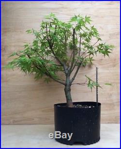 Katsura Dwarf Japanese Maple Bonsai Tree Thick Trunk Momiji Yellow Orange