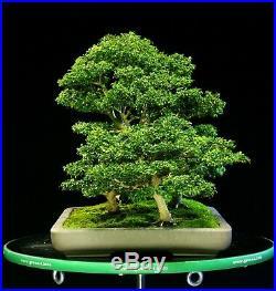 Kingsville Boxwood Bonsai Specimen Five Tree Grove Planting KBG5-108
