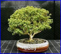Kingsville Boxwood Bonsai Specimen Tree KBST-226A