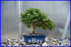 Kingsville Boxwood Bonsai Tree