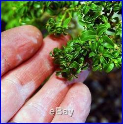 Kingsville Boxwood Bonsai Tree KBC-1119K