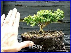 Kingsville Boxwood Bonsai Tree KBC-722A