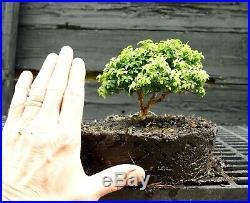 Kingsville Boxwood Bonsai Tree KBC-722B
