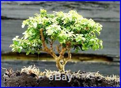 Kingsville Boxwood Bonsai Tree KBC-722C