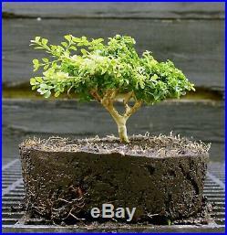 Kingsville Boxwood Bonsai Tree KBC-722D