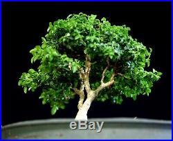 Kingsville Boxwood Bonsai Tree KBC-805A