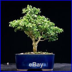 Kingsville Boxwood Bonsai Tree KBM-1119B