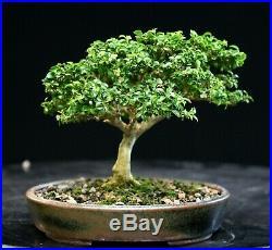 Kingsville Boxwood Bonsai Tree KBM-225E