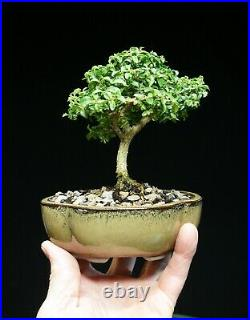 Kingsville Boxwood Bonsai Tree KBM-606C