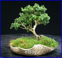 Kingsville Boxwood Bonsai Tree KBM-606D