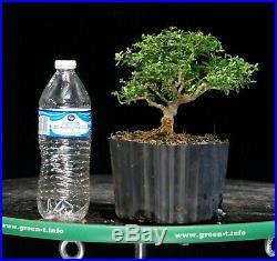 Kingsville Boxwood Pre Bonsai Tree KBM-122E
