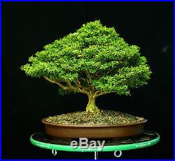 Indoor Bonsai Kingsville Boxwood Specimen Bonsai Tree Kbst 811 Http Indoorbonsai Biz