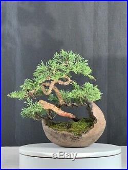 Kishu Shimpaku Juniper Bonsai In Rock Pot