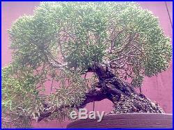 Kishu Shimpaku bonsai specimen in Tokoname pot