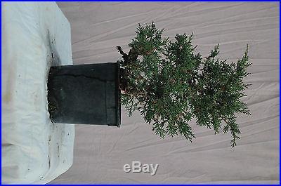 Kishu' var Shimpaku Juniper Aged Specimen Bonsai Tree Shohin Big Thick Trunk