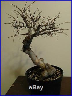 Knarley Old japanes grey bark elm Bonsai trees