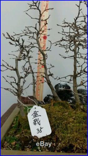 Korean Hornbeam Bonsai Group Planting #35