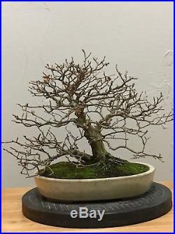 Korean Hornbeam Bonsai Tree