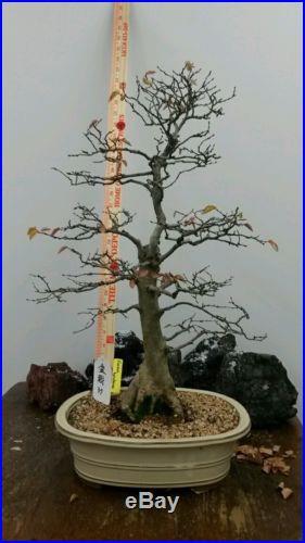 Korean Hornbeam Bonsai Tree #37