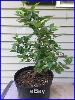Korean Hornbeam Tree- Pre Bonsai Stock #1